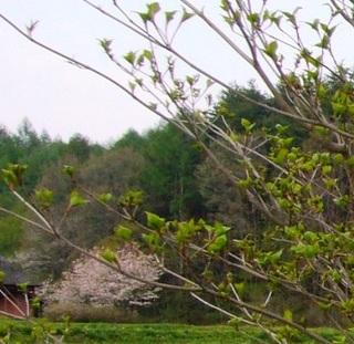 17春の季語・植物・木の芽�@.jpg