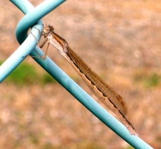 26夏の季語・動物-糸蜻蛉.jpg