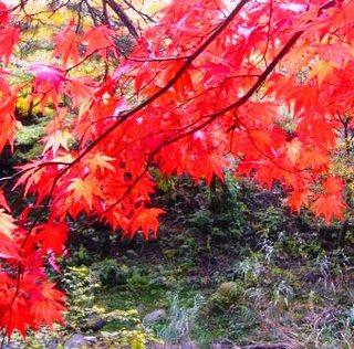37秋の季語・植物-紅葉.jpg