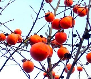 37秋の季語・植物・柿(写真1).jpg