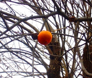 47冬の季語・植物・木守柿�@.jpg