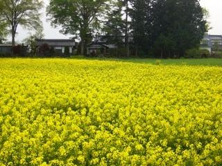 17春の季語・植物・菜の花.jpg