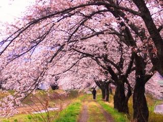 17春の季語・植物・桜(川沿いの桜).jpg