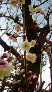 17春の季語・植物・梅(凛とした梅の枝).jpg