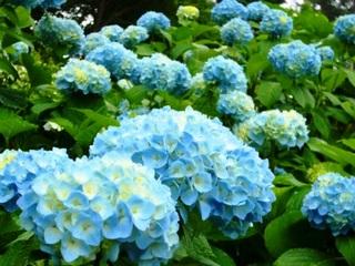 27夏の季語・植物・紫陽花(アジサイ).jpg